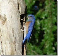 A male Western bluebird using a natural cavity.  Image by By Ken Thomas [Public domain], via Wikimedia Commons