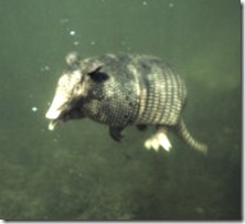 9-banded-armadillo-swimming
