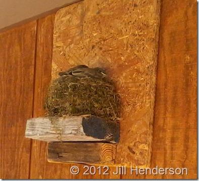 2012 5-9 Baby Flycatchers (2)
