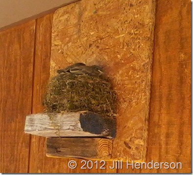 2012 5-9 Baby Flycatchers (2)