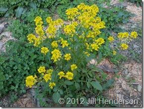 Wild Mustard © 2012 Jill Henderson