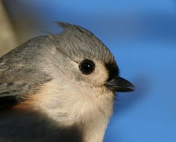 Tufted_titmouse_closeup