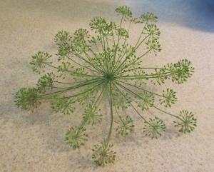 Seedhead of Dill