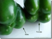 Bell Pepper Sex Hoax image