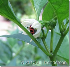 Pink Ladybug on pepper flower © 2013 Jill Henderson