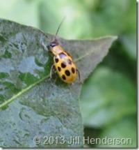 Spotted Cucumber Beetle © 2013 Jill Henderson