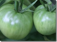 800px-Tomatoes_Green