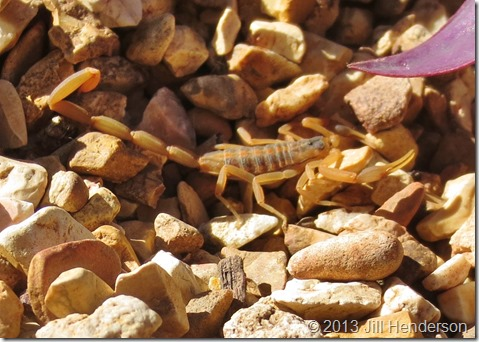 The rocks around this little striped scorpion are smooth pea gravel, which shows just how small these little arachnids are.