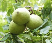 blackwalnuts