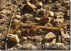 Striped Scorpion - © 2013 Jill Henderson