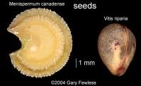 mencan_vitrip_seed_comparis