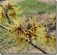 Witchhazel Flowers_sm