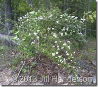 2012 4-20 Multiflora Rose Bush (8)
