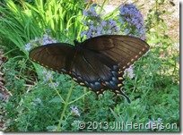 2013 7-7 Female Black Swallowtail (1)