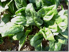 Garden spinach (Spinacia oleracea). Image via Wikimedia Commons.
