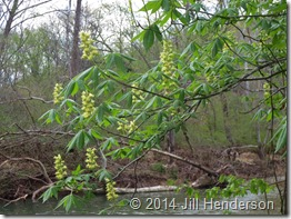 2013 4-21 Ohio Buckeye in bloom (2)