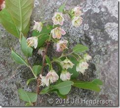 2013 5-5 Wild Blueberry - Vaccinium stamineum (7)