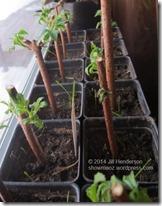 Elderberry cuttings