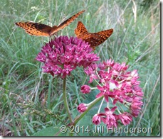 2014 6-3 Fritillaries and Milkweed (1)