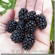 Blackberry Pickin - Image Copyright Jill Henderson