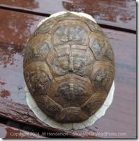 Box Turtle Shell