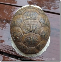 Box Turtle Shell