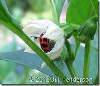 Pink Ladybug (Coleomegilla maculata) by Jill Henderson ShowMeOz