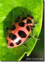 Pink Ladybug [Coleomegilla maculata] Image by Jim Conrad [Public domain], via Wikimedia Commons