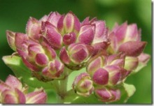 Oregano-flower-macro-by-Elizabeth-Ju[1]