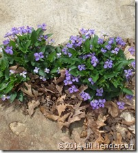 Violets in limestone