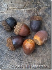 Falling acorns. Copyright Jill Henderson
