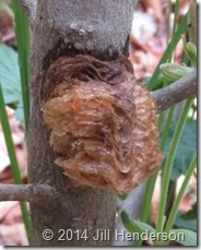 Praying mantis egg case. Copyright Jill Henderson
