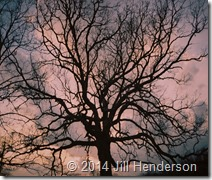 2007-4 (2) Grandaddy tree