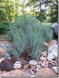 Rocks make excellent mulch for woody perennials like lavender.