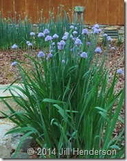 Spring onion chives in bloom. Copyright Jill Henderson