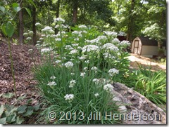 Fall-blooming garlic chives. Copyright Jill Henderson