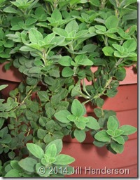 Potted oregano Copyright Jill Henderson