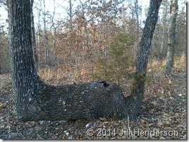 Indian Bent Tree.  Copyright Jill Henderson