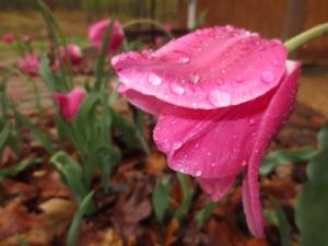 Tulip Image copyright Jill Henderson Show Me Oz