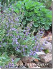 2013 5-15 Sage in Bloom