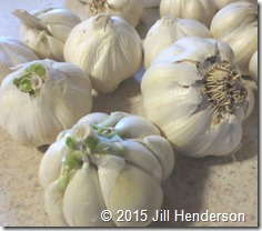 This garlic is ready to be processed!