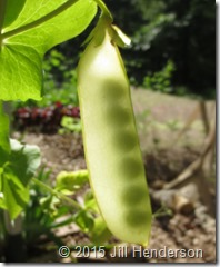 Snow peas will cross with snow, snap and shell peas.