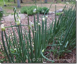 Egyptian Walking onions in early spring beginning to set bulbils. Image copyright Jill Henderson