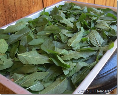 Basil leaves ready to be dried.