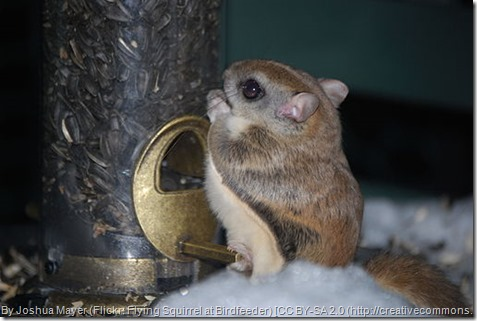 By Joshua Mayer (Flickr: Flying Squirrel at Birdfeeder) [CC BY-SA 2.0 (http://creativecommons.org/licenses/by-sa/2.0)], via Wikimedia Commons