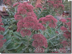 Sedum Autumn Joy flowers turn a deep maroon color as fall arrives.