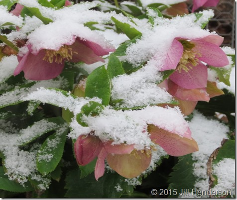 2013 3-21 Lenten Rose and Snow (1)