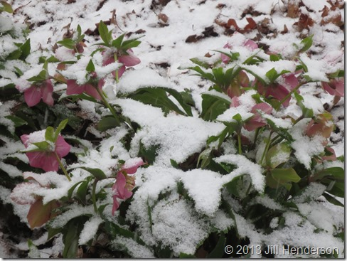 2013 3-21 Lenten Rose and Snow (3)