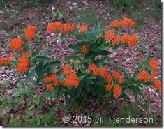 Butterflyweed (Asclepias tuberosa). Copyright Jill Henderson ShowMeOz.wordpress (1)