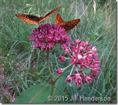 Close up of Purple Milkweed flowers. Copyright Jill Henderson ShowMeOz.wordpress.com